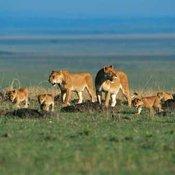Il nuovo fondo per proteggere i leoni e ripristinare habitat naturali